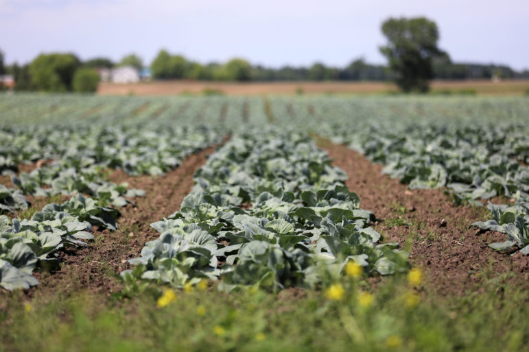 "Cabbages are seen in a field in southeastern Wisconsin, near where federal authorities charge workers from Mexico were illegally trafficked. ""Roberto"" and 13 other men were legally brought from Mexico to Georgia on temporary worker visas then illegally taken to Wisconsin to pick cabbages at Borzynski Farms in the fall of 2016. The men worked long hours in the fields in unsafe conditions, according to the federal indictment against the labor contractor, Garcia & Sons. Photo taken July 1, 2019. Photo by Coburn Dukehart / Wisconsin Watch."