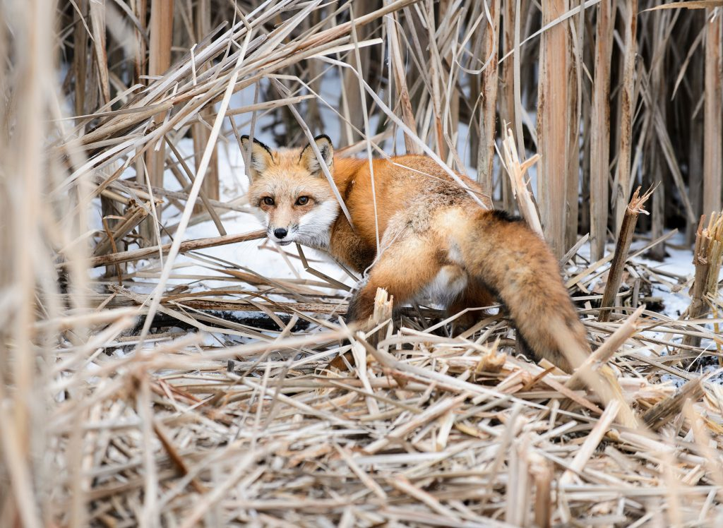 A young adult fox captured as part of the UW-Madison Urban Canid Project is pictured on Jan. 23, 2015 before being released from a cable restraint on the university campus near the Lakeshore Nature Preserve. Photo by Jeff Miller/UW-Madison.