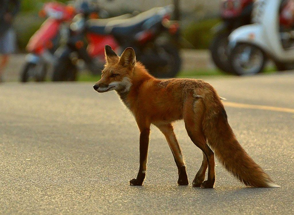 A red fox walks on a street in Madison. Photo courtesy of the UW-Madison Urban Canid Project.
