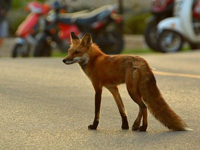 Lives of the Urban Coyotes and Foxes