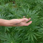 Hemp Growers Assail State Regulators