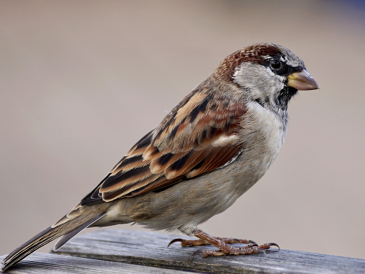 Sparrow. Pixabay License. Free for commercial use. No attribution required