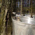 State's Maple Syrup Industry At Risk