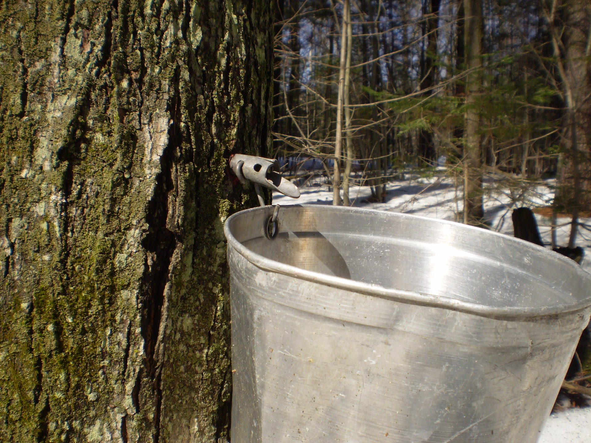Boiler attached to a maple tree. Photo is in the Public Domain.
