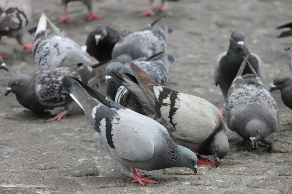Pigeons. (Pixabay License)