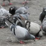 Urban Reads: How Pigeons Dominate Cities