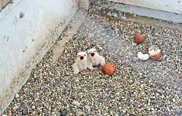We Energies welcomes their first peregrine falcon chicks of the season