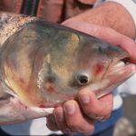 Climate Change May Help Asian Carp Thrive in Lake Michigan