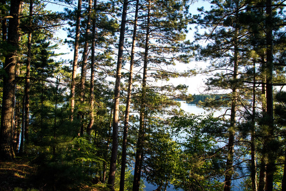 A view of pine trees in the Northern Highland – American Legion State Forest. / Photo Credit: Wisconsin DNR
