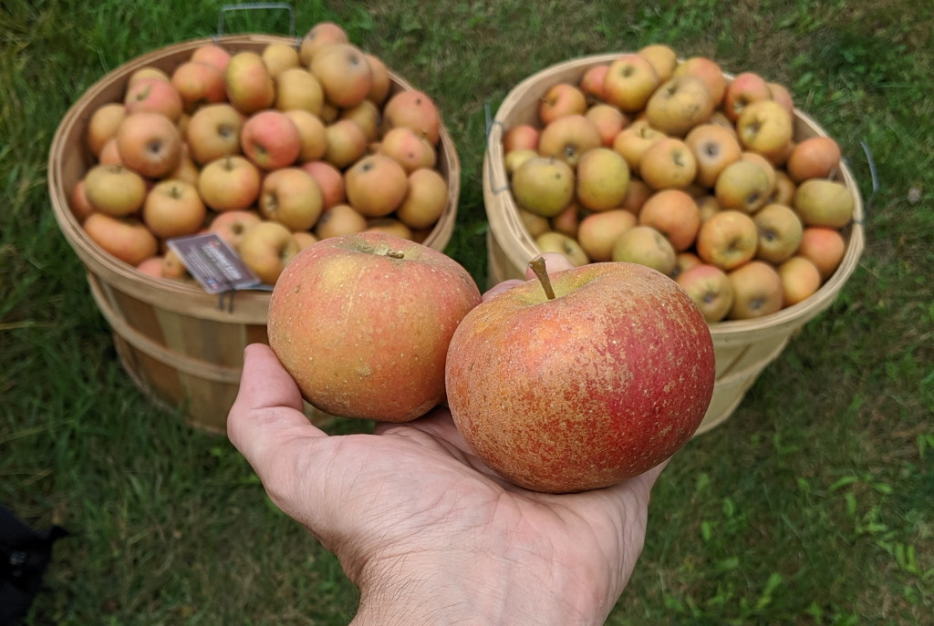 Ashmead's Kernel and Winter Redflesh apples. Photo by Ethan Keller.