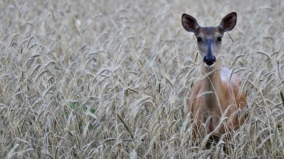 Bonus antlerless harvest authorizations will go on sale mid-August. / Photo Credit: Wisconsin DNR