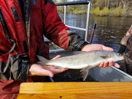 Lake Michigan Whitefish Virtual Meeting August 18