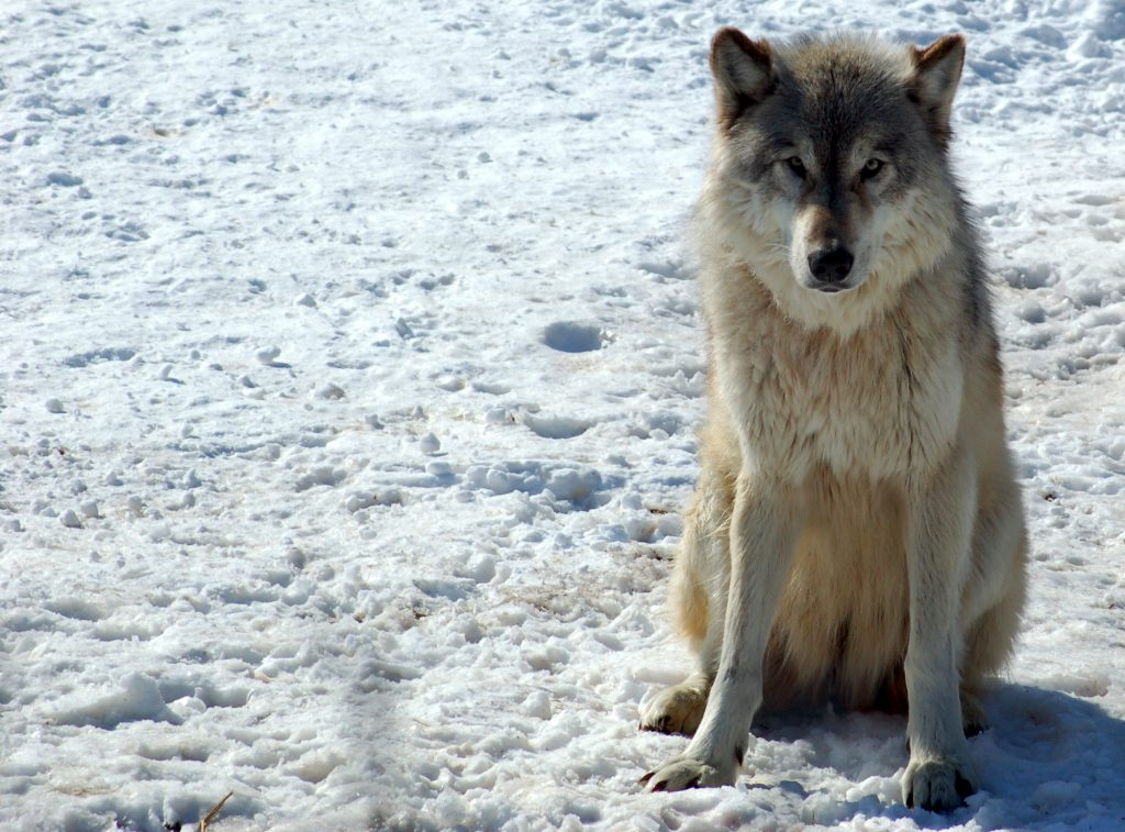 Gray wolf. Photo by Derek Bakken / CC BY (https://creativecommons.org/licenses/by/2.0)