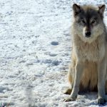 State's Wolf Population Up By 13%