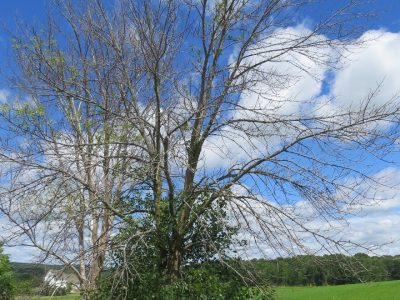 Emerald Ash Borer Confirmed In Oconto And Shawano Counties