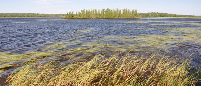 """Wild rice harvesting, or """"ricing,"""" is an excellent way to put nutritious, delicious, natural foods on the table while enjoying the outdoors. / Photo Credit: Wisconsin DNR"""