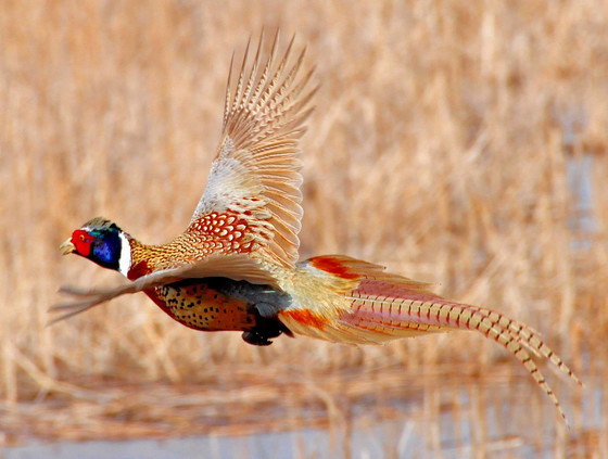 The fall 2020 pheasant hunting season opens statewide at 9 a.m. on Saturday, Oct. 17. / Photo Credit: Tom Koerner, USFWS