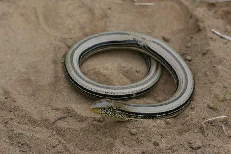 A Slender Glass Lizard (Ophisaurus attenuatus). Photo by Don Becker, CC BY-SA 3.0 , via Wikimedia Commons