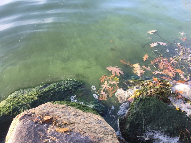 A blue-green algae bloom in Lake Monona on Nov. 5, 2020. Photo Courtesy Of The University Of Wisconsin-Madison Center For Limnology