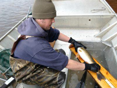 DNR Seeks Public Input On Walleye Regulations For Minocqua Chain