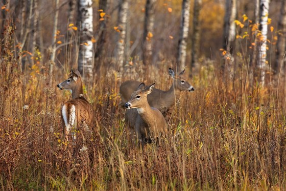 The 9-day gun deer hunting season starts Nov. 21. This fall, Wisconsinites have access to new features in the Hunt Wild Wisconsin mobile application that make the hunting experience more enjoyable. / Photo Credit: Wisconsin DNR
