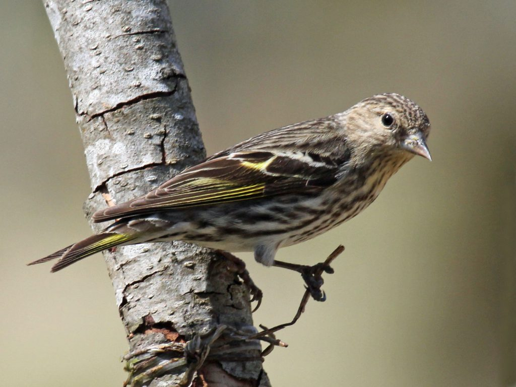 Pine siskins. Photo by DickDaniels (http://carolinabirds.org/), CC BY-SA 3.0 , via Wikimedia Commons
