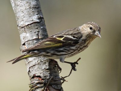 Winter Finches Here in Big Numbers