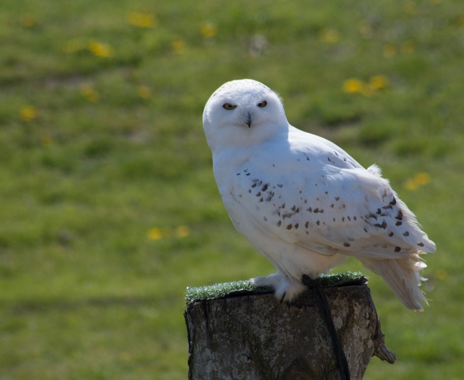 Snowy owl. Pixabay License Free for commercial use No attribution required