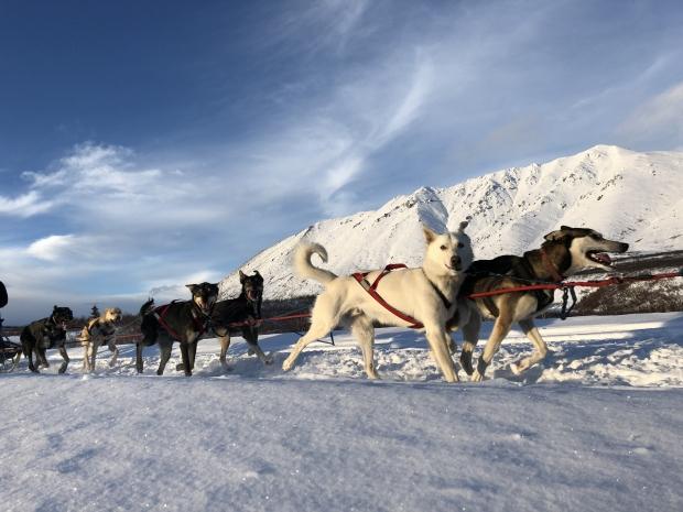 Blair Braverman's dog sled team runs in the snow. Photo courtesy of Braver Mountain Mushing