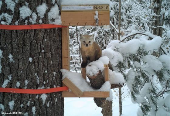 Trail cameras are helping reveal American marten behaviors to help inform restoration efforts.. / Photo Credit: Wisconsin DNR