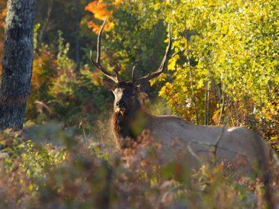 Elk Management Plan Open For Public Comment