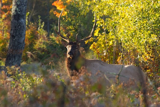 The DNR is now accepting public input on an update to the state's elk management plan through Jan. 23, 2021. / Photo Credit: Wisconsin DNR