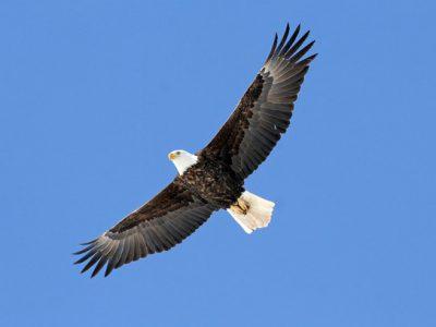 Sauk Prairie Bald Eagle Watching Goes Virtual For 2021