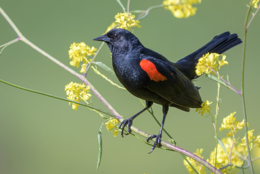 Redwing Blackbird. Photo by Becky Matsubara from El Sobrante, California, CC BY 2.0 <https://creativecommons.org/licenses/by/2.0>, via Wikimedia Commons