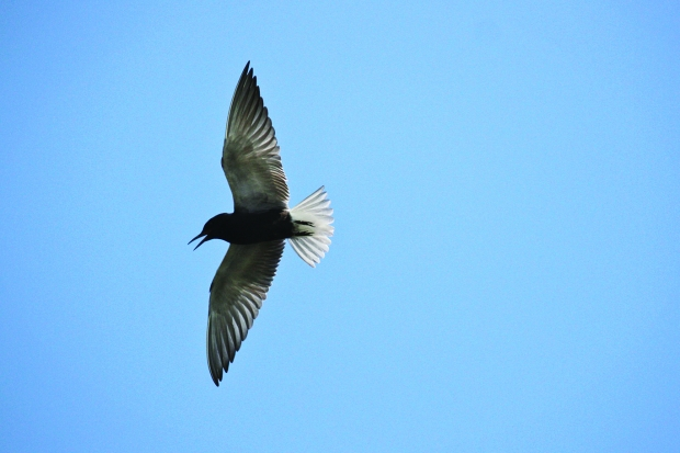 The Great Lakes Audubon is trying to bring back black terns in the St. Louis River estuary as part of efforts to restore coastal wetlands to support marsh bird habitats. Photo courtesy of Great Lakes Audubon.
