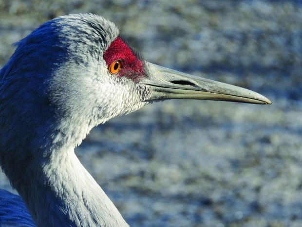 Sandhill cranes are one of 14 marsh birds that the Great Lakes Audubon have prioritized for conservation across 12 regions identified for coastal wetland protection and restoration across the Great Lakes. Photo courtesy of Great Lakes Audubon.