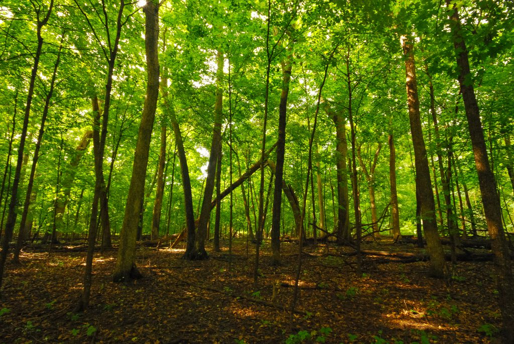 Waupun Park Maple Forest. Photo by flickr user Joshua Mayer. (CC BY-SA 2.0) https://www.flickr.com/photos/wackybadger/26248853810 https://creativecommons.org/licenses/by-sa/2.0/