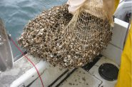 Quagga mussels. Photo by NOAA Great Lakes Environmental Research Laboratory, CC BY-SA 2.0 , via Wikimedia Commons