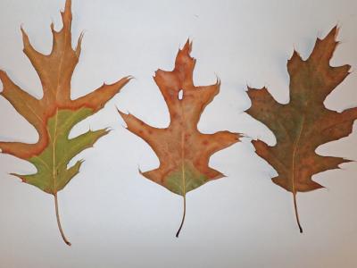 Help Protect Oak Trees From Oak Wilt