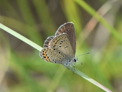 DNR Seeking Volunteers For Karner Blue Butterfly Surveys