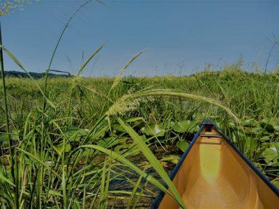 DNR Seeking Public Comment For Wild Rice Management Strategic Analysis