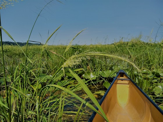 Wild rice is part of Wisconsin's natural landscape. Beds of wild rice help maintain good water quality, and they provide food and habitat for waterfowl and many other types of wildlife. / Photo Credit: Wisconsin DNR