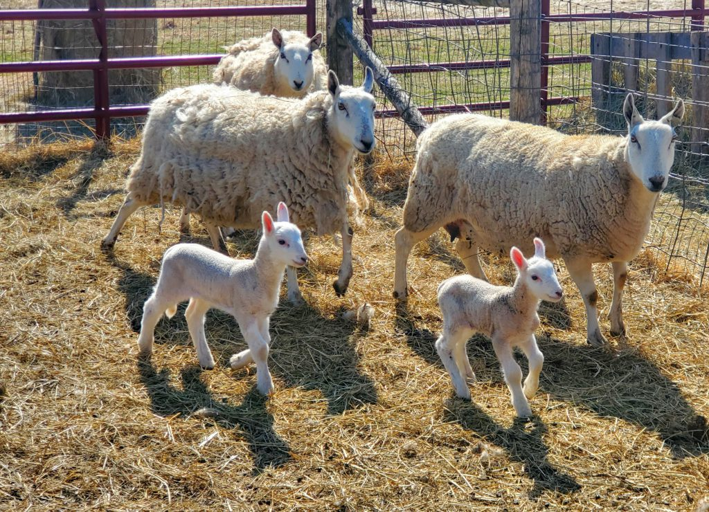 Visit newborn lambs and other heritage animal breeds at Old World. Photo courtesy of the Wisconsin Historical Society.