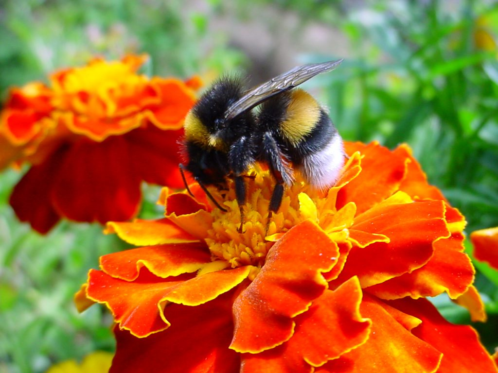 Bee on a flower. Photo by Christian Bauer, CC BY 2.0 , via Wikimedia Commons