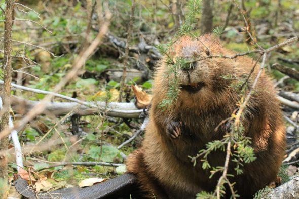 Beaver. (Pixabay License).