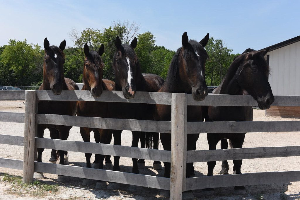 Horses from the Milwaukee Police Department's Mounted Patrol are housed at MKE Urban Stables. Photo by Sue Vliet/NNS.