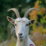 MKE County: Send In The Goats?