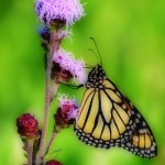 Friends of the Monarch Trail